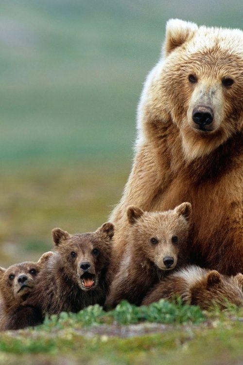 ♂ Wild life photography bears family…