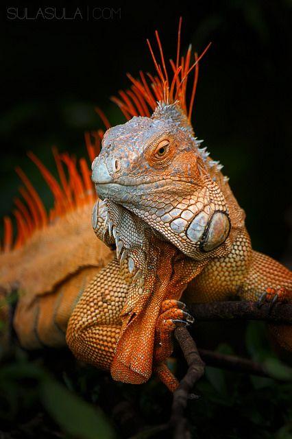 Green Iguana | by Petr Bambousek…
