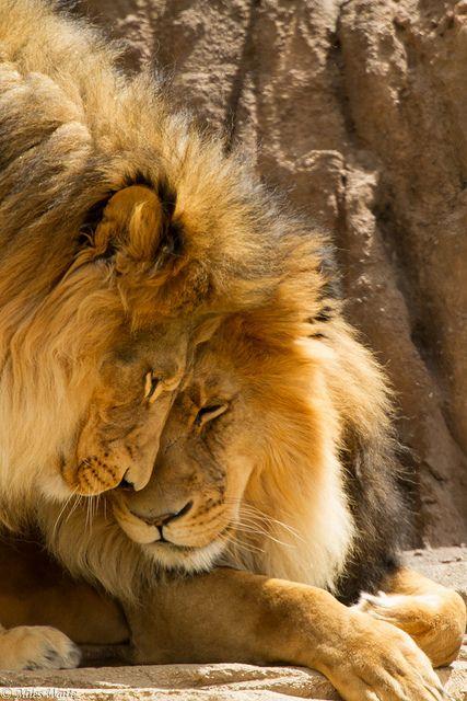 ♂ Lion couple animal wild life photography…