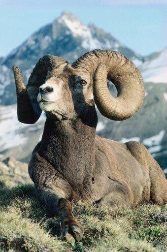 Big horn sheep                                                                  …
