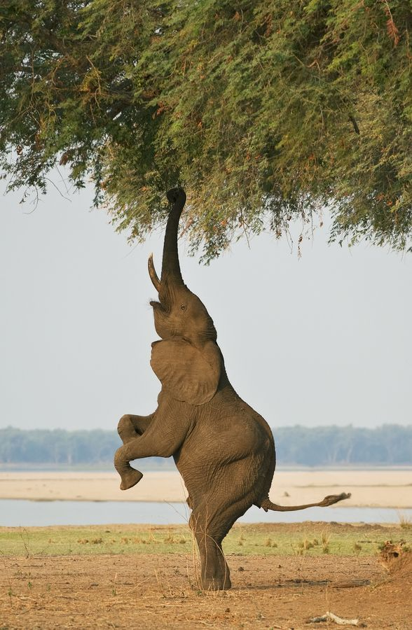 Great wildlife images   Bipedal Elephant 2 by  Ken Watkins    Another bala…