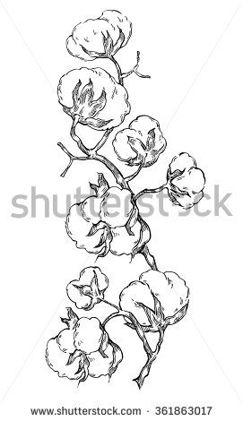 Hand Made Vector Sketch Of Cotton Plants. Cracked Bolls On A Cotton Plant. Vecto…