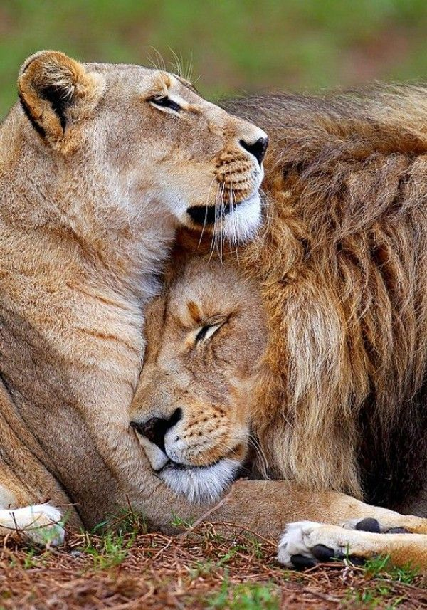 Lions in love   | nature | | wild life | #nature #wildlife biopop.com/