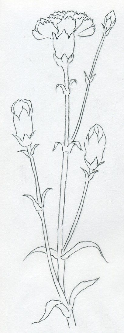 o draw Carnation can be a very easy job. Carnation is one of the simplest flower…