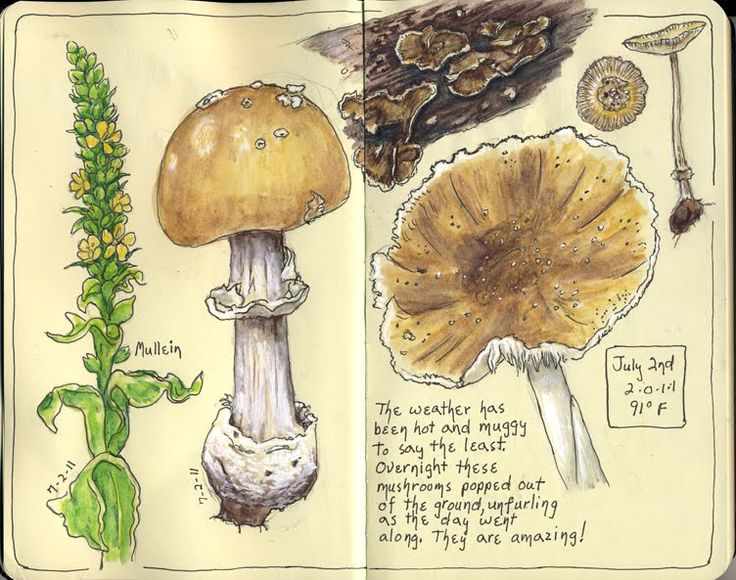 From the nature journals of Sandy Williams over at Sketching in Nature…mushroo…