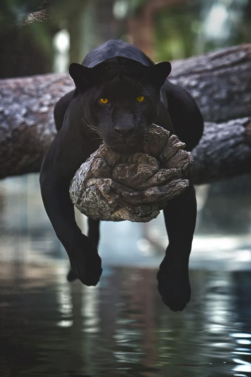 I have a tabby cat who hangs like this and called him Bagheera. He slinks about …