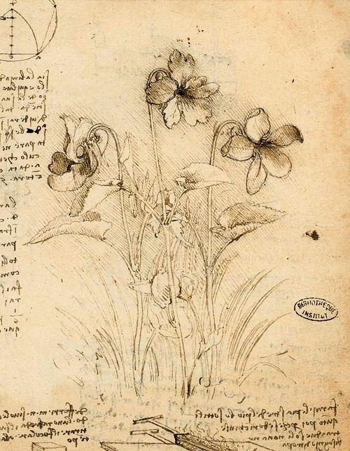 alscrapbook: wasbella102: Study of Violets, Leonardo Da Vinci (Italian, 1452-151…