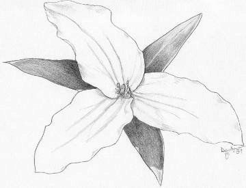 Trillium pencil sketch of flower by artist Emily Dewbre-Young.