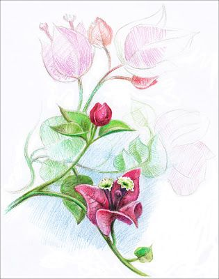 color pencil sketches of flowers – Google Search