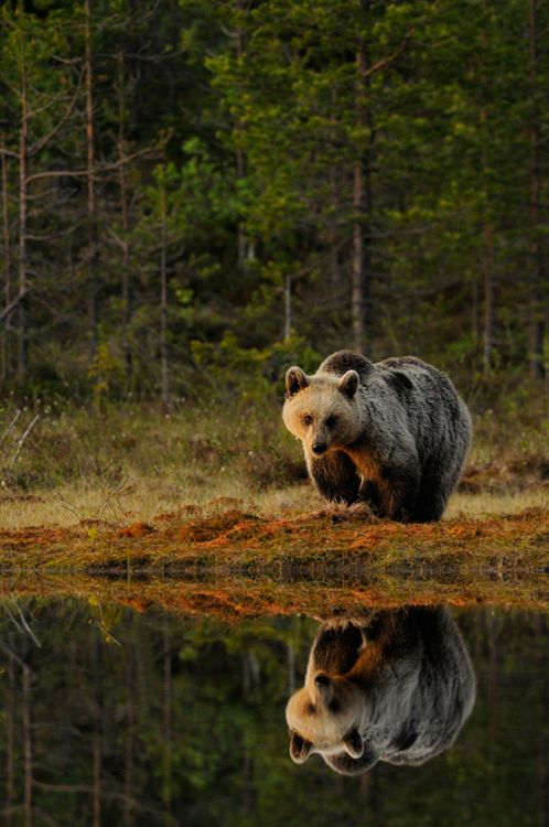 Grizzly bear prowls it's territory in the morning light.  You have to follow t…