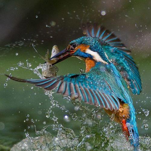 """Kingfisher ~ Miks' Pics """"Fowl Feathered Friends ll"""" board @ www.pinterest.com…"""