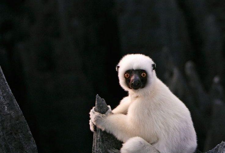 Von der Decken's Sifaka lemur, Madagascar, Southeast African coast