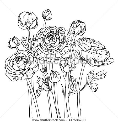 Garden buttercups. Ranunculus. Garden flowers painted line on a white background…