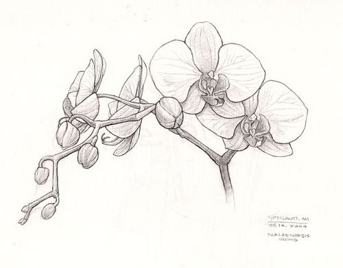 Orchid sketch by redmeg8, via Flickr
