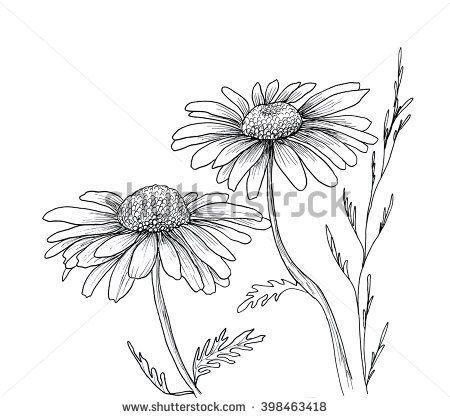Chamomile hand drawn flowers background, isolated on white. Hand drawn illustrat…