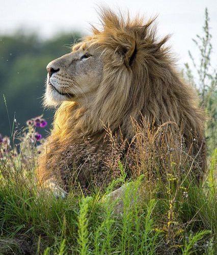 The Lion King #nature #wildlife biopop.com/