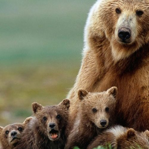"""What the cubs are really saying?  """"Look Mama! Here comes lunch!"""""""