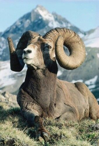 best pictures and photos about mouflon – big horned animals