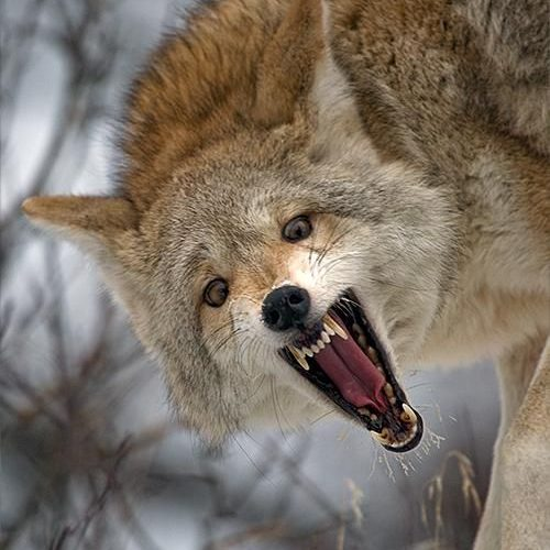 llbwwb:    Coyote by Stephen Oachs.