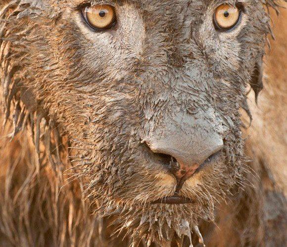 Muddy Lion won the 2012 Nature's Best Photography Award ~   Patrick Bentley …