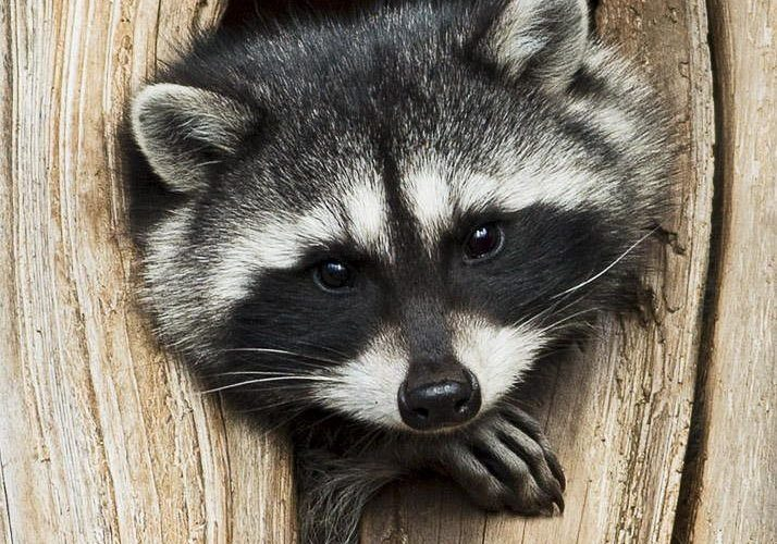 Photograph Raccoon Portrait by Rita Ivanauskas on 500px    Wild About Birds Natu…