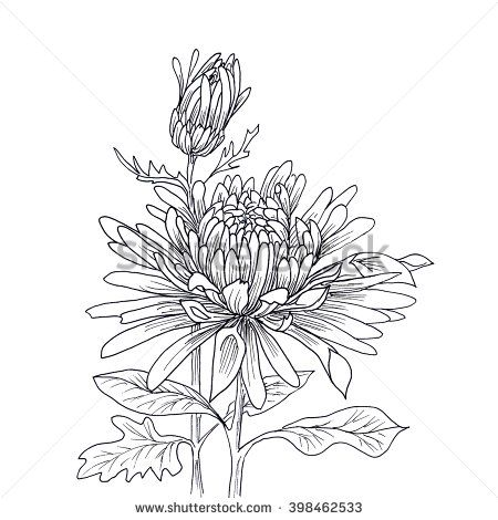 Flower hand drawn chrysanthemum isolated on white. Hand drawn illustration. Ink …