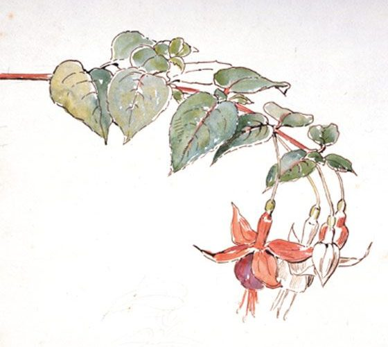 'Sketch of fuchsia flowers' by Beatrix Potter