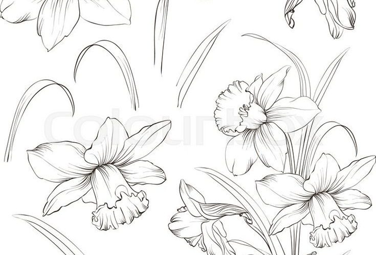 Stock vector of 'Set of line drawing narcissus. Daffodils blossom bundle. Bl…