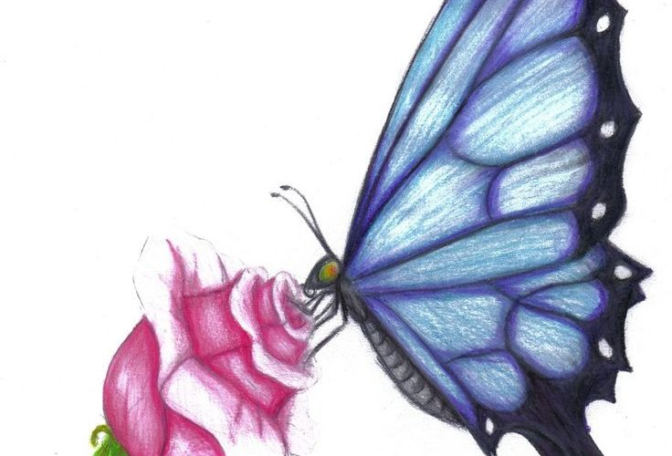 Butterfly Drawings In Color | butterfly rose by evolra traditional art drawings …