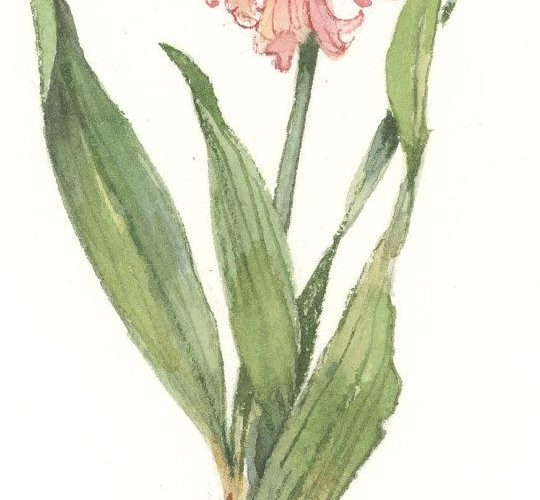Wood Hyacinth 11 x 5 lithograph by CShoresInc on Etsy, $12.00