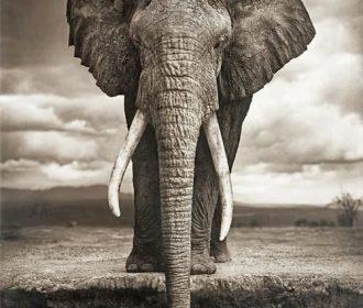 African Elephant Animal Art