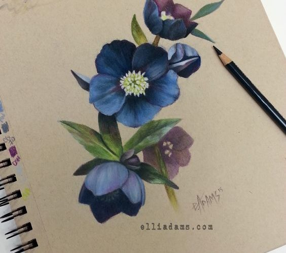 Black hellebore study i did in colored pencil and marker on strathmore tan toned…
