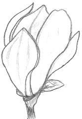 Magnolia Drawing