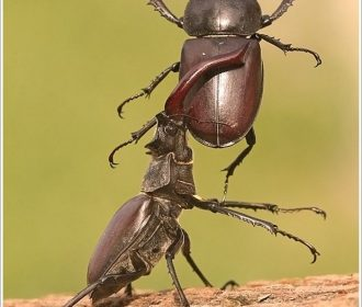 Stag Beetle male shows off his superior strength . Observing females take note .