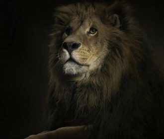 US SELLER- artwork prints for sale animal lion art poster