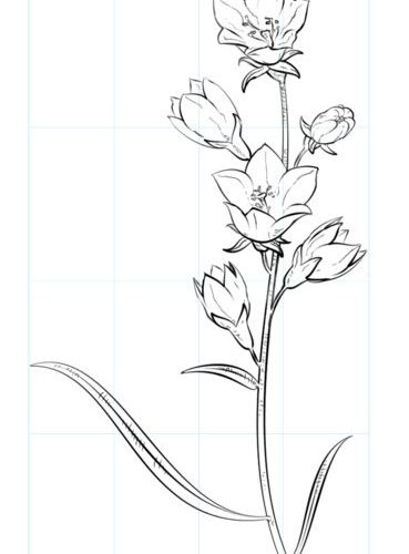 Flower sketches: How to draw a bell flower