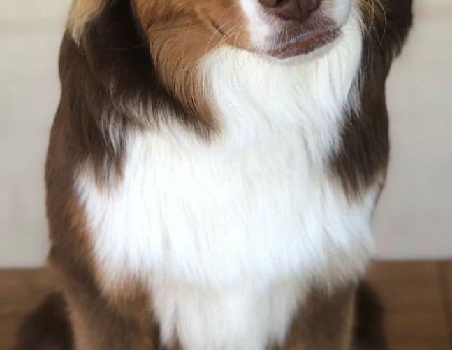 #AustralianShepherd Dog Breed Information, Popular Pictures
