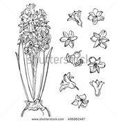 Hyacinth. Flowers line drawn on a white background. Sketch hyacinth. Spring flow…