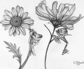drawings of flowers | … of Frogs www.pencil-drawin…