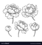 Peony botanical drawing. Vector hand drawn engraved flower set. Blooming Peonies…